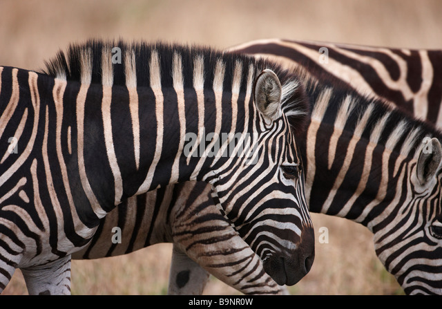 family of Burchellls zebra in the bush, Kruger National Park, South Africa - Stock Image