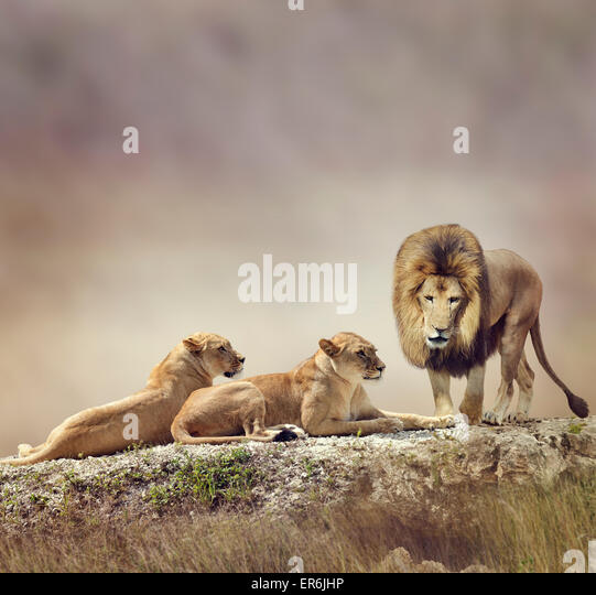 Family of Lions On A Rock - Stock-Bilder