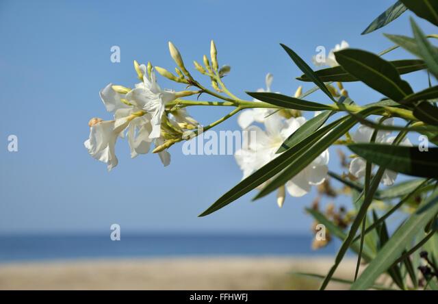 Oleander Palm Beach