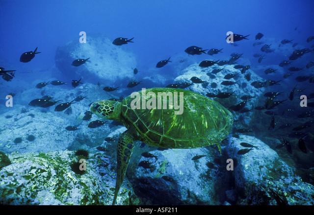 Green sea turtle Chelonia mydas swimming over rocky reef School of Demoiselle fish Raoul Is Kermadec Islands New - Stock Image