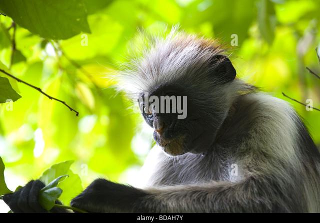 Red Colobus Monkey Jozani Forest Zanzibar - Stock Image