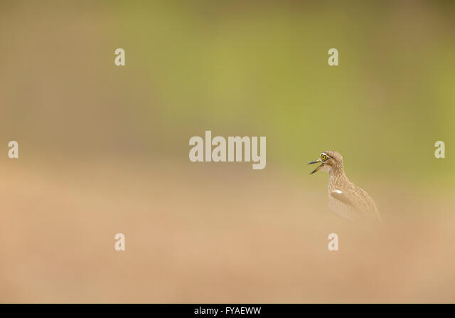 Senegal thick-knee Burhinus senegalensis, calling from hidden position, Mole National Park, Larabanga, Ghana in - Stock Image