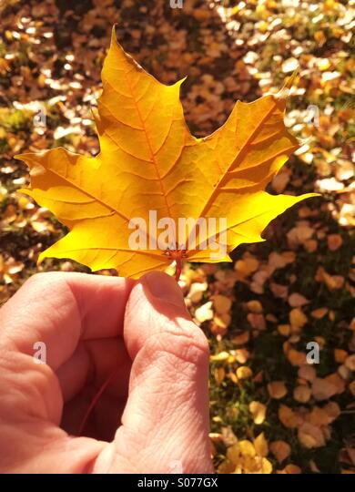 A hand of a man holding a maple leaf with grass and fallen leaves on the background. Photographed in Jyväskylä, - Stock Image