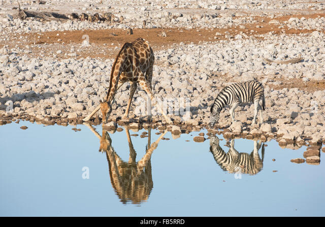 Burchell's Zebra and Southern Giraffe drinking at waterhole with their reflections visible and a gathering of - Stock Image