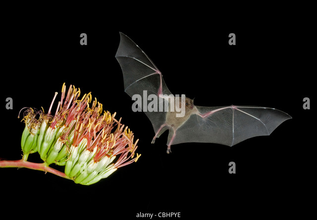 Lesser Long-nosed Bat Leptonycteris curasoae Amado, ARIZONA, United States 23 August Adult at Parry's Agave - Stock Image