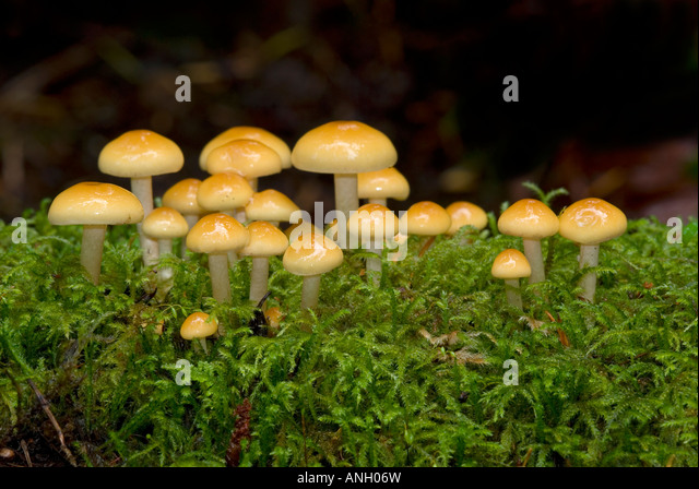 Hypholoma-species of fungus, Vancouver Island, British Columbia, Canada. - Stock Image