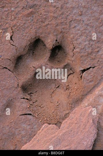 tk0007, Thomas Kitchin; Cougar/Mountain Lion/Puma. Paw Print. Near Canyonlands National Park, Utah. Autumn. Felis - Stock Image