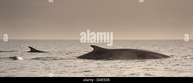 Fin whale emerging from water - Stock Image