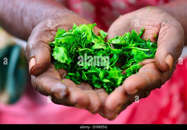Elderly woman holding tea leaves in her hands, Ella, Uva, Sri Lanka - Stock-Bilder