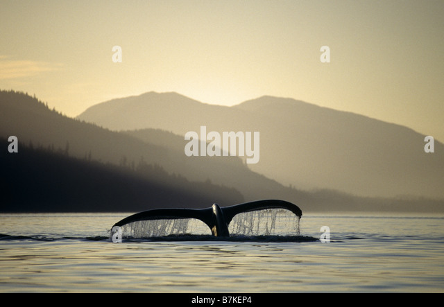 Humpback Whale sounding, Chatham Straits, Southeast. Alaska - Stock Image