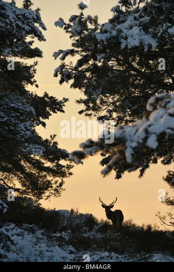 Red Deer (Cervus elaphus). Male standing between pine trees. - Stock Image