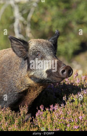 Wild Boar (Sus scrofa) standing in flowering heather. Highland Wildlife Park, Scotland. - Stock-Bilder