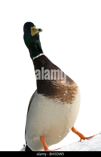 A wild duck staying on white snow - Stock Image