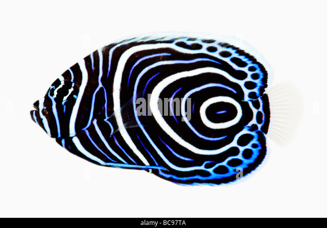 Juvenile Emperor angelfish Pomacanthus imperator Carnivorous tropical marine reef fish Dist Indo Pacific Red Sea - Stock Image