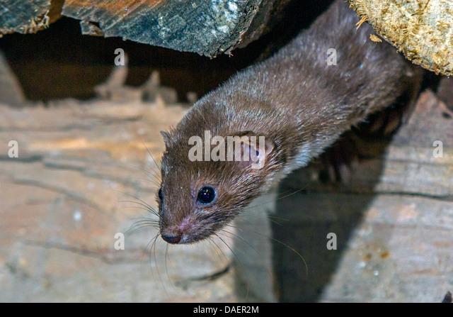 least weasel (Mustela nivalis), peering out of a pile of wood, Germany, Bavaria - Stock Image