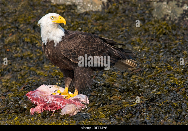 Adult Bald eagle on carcass, Victoria, Vancouver Island, British Columbia, Canada - Stock Image