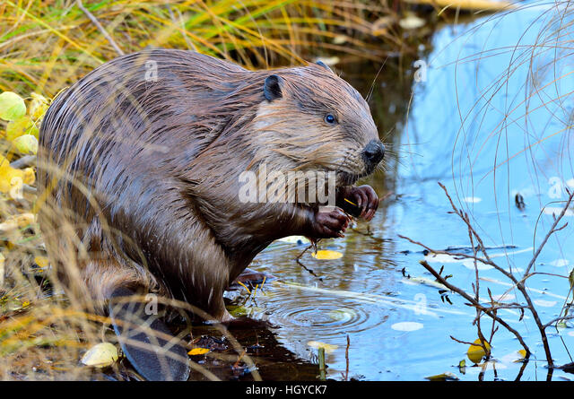 A beaver  'Castor canadenis'; sitting on the side of a pond - Stock Image