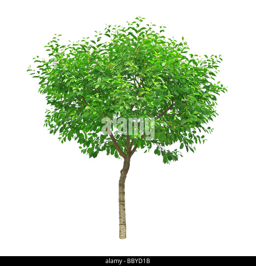 tree isolated on the white background - Stock-Bilder