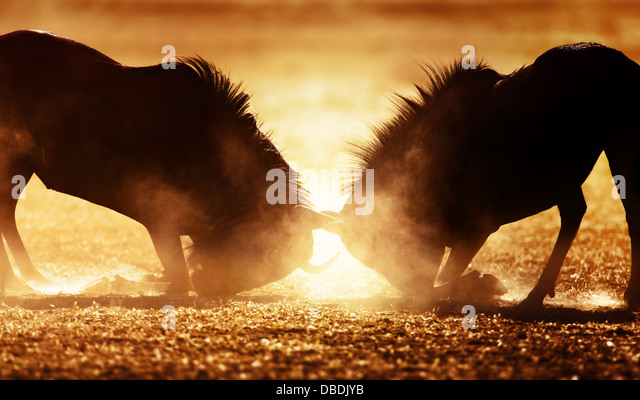 Blue wildebeest dual in dust - Kalahari desert - South Africa - Stock-Bilder