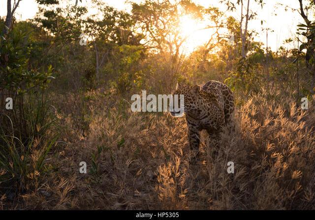 Jaguar exploring the Cerrado - Stock Image