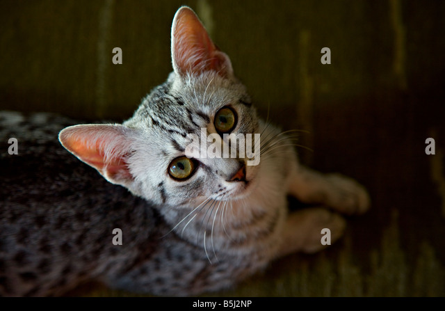 Egyptian Mau kitten - Stock Image