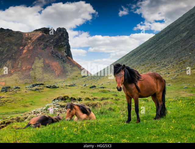 Developed from ponies - Icelandic horses. Colorful summer morning in the mountain pasture, Stokksnes headland, Iceland, - Stock Image