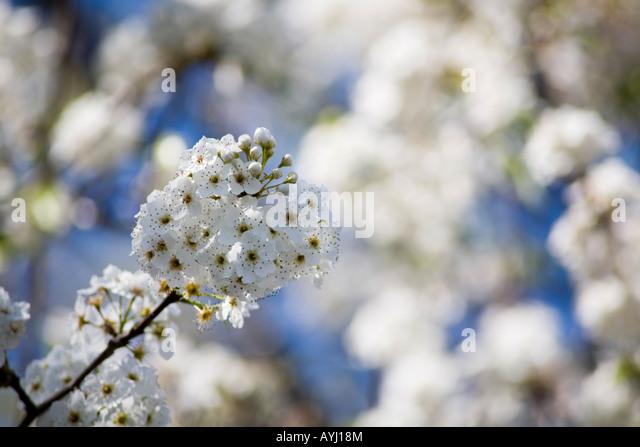 Pyrus Calleryana, Aristocrat Pear tree flowering buds. - Stock Image