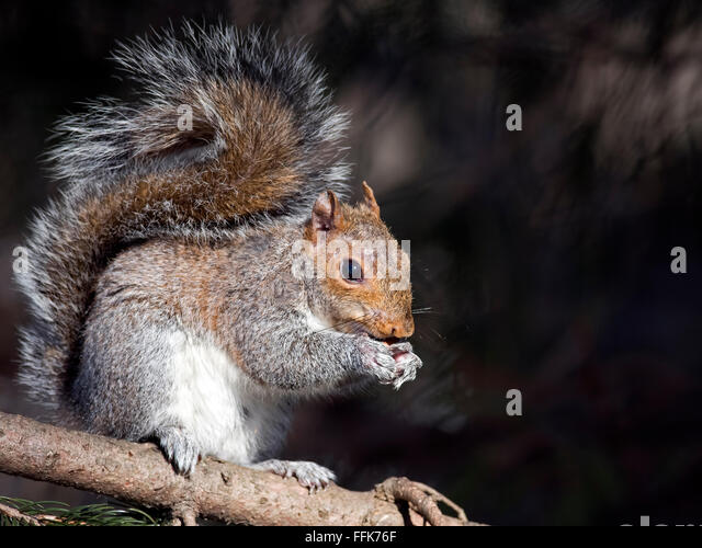 Eastern Gray Squirrel Eating nuts - Stock Image