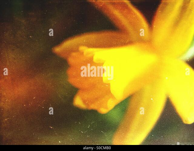Close up of a daffodil flower - Stock Image