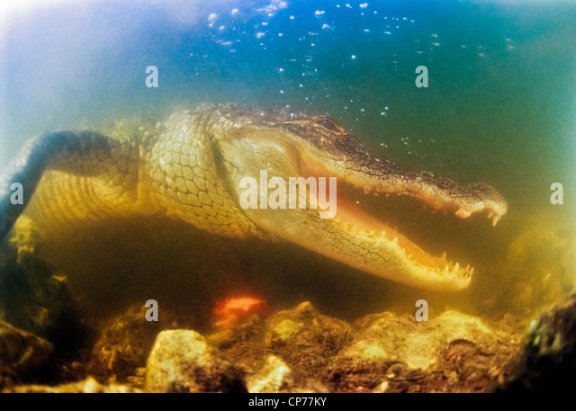 American Alligator with Jaws agape - Stock-Bilder