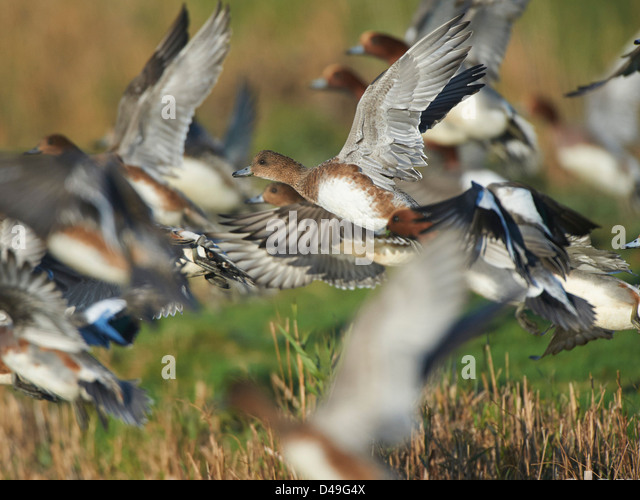 Wigeon in flight - Stock Image
