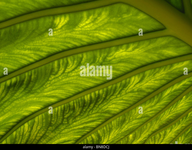 Macro shot of plant leaf. Sunlight shinning through a plant leaf, showing detailed, intricate patterns in the leaf - Stock Image