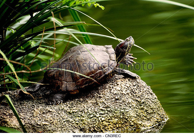 Red-eared slider sunbathing on a rock, native to the southern USA - Stock Image