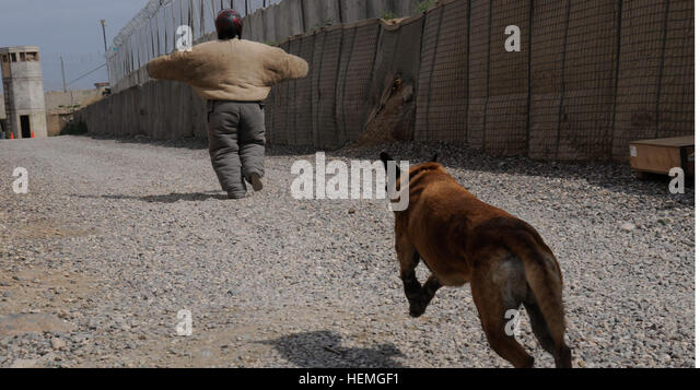An American K-9 Detection Services (AMK9) working dog chases a U.S. Soldier during attack training at Camp Nathan - Stock Image