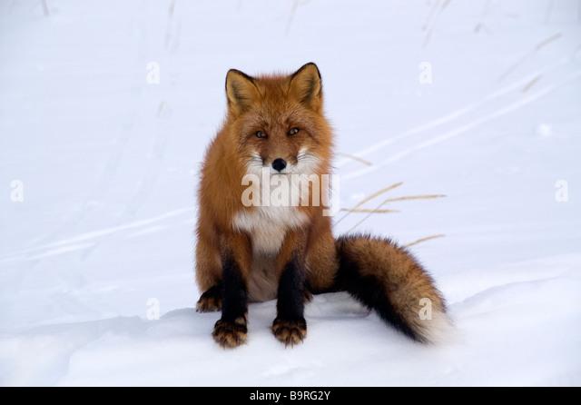 Red fox (Vulpes vulpes) - Stock Image