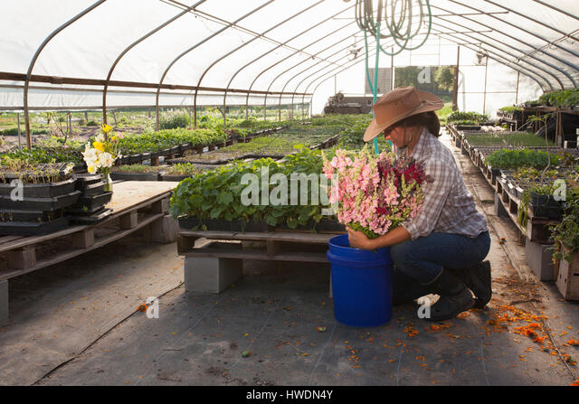 Young woman placing bunch of snapdragons (antirrhinum) in bucket, flower farm polytunnel - Stock-Bilder