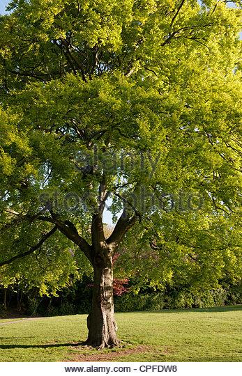 Common beech stock photos common beech stock images alamy for Garden deciduous trees