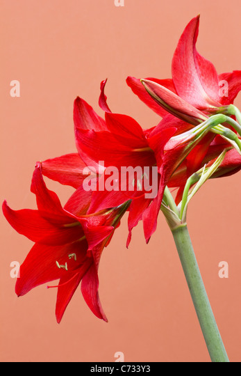 Red amaryllis on colorful background - Stock Image