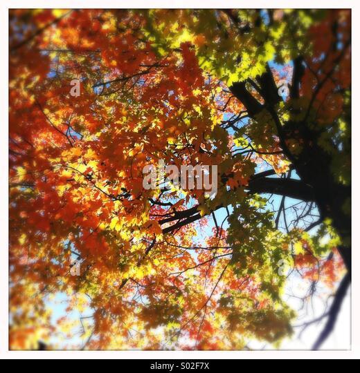 Tree in Autumn, Ontario, Canada - Stock Image
