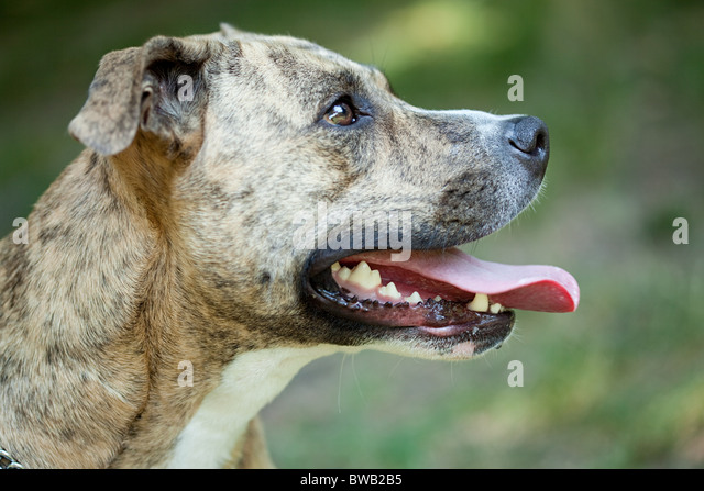 Portrait of a pit bull - Stock Image