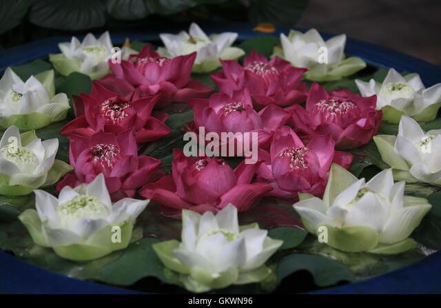 Thailan, Bangkok, Lotus flower on the water - Stock Image