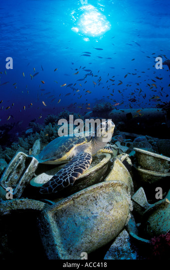 Turtle on Wreckage Red Sea - Stock Image