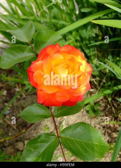 orange two tone rose - Stock Image