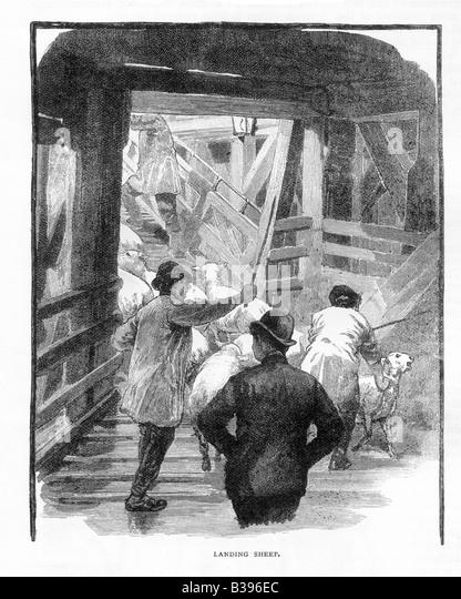 Landing Sheep at London Docks Circa 1890 19th Century Engraving - Stock-Bilder