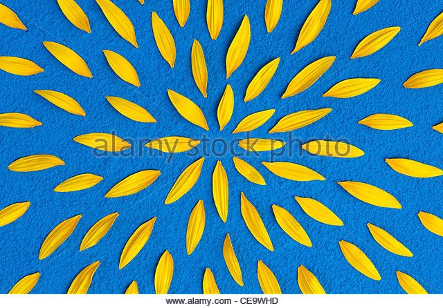 Sunflower petals pattern on a blue powder background - Stock Image