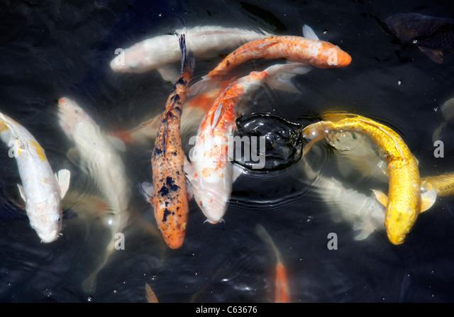 Carp fish stock photos carp fish stock images alamy for Koi pool lancashire