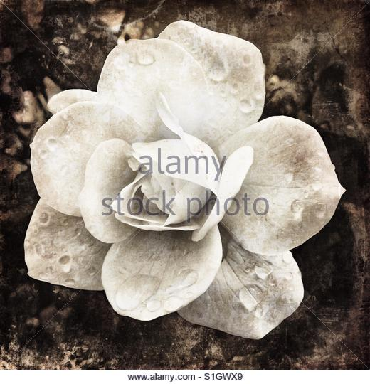 a Rose - Stock Image