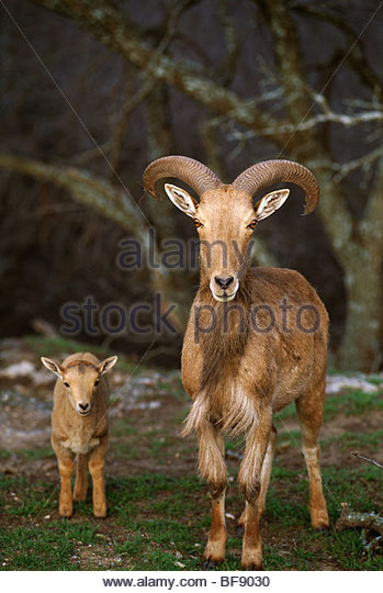 Aoudad with young, Ammotragus lervia, Native to North Africa - Stock-Bilder