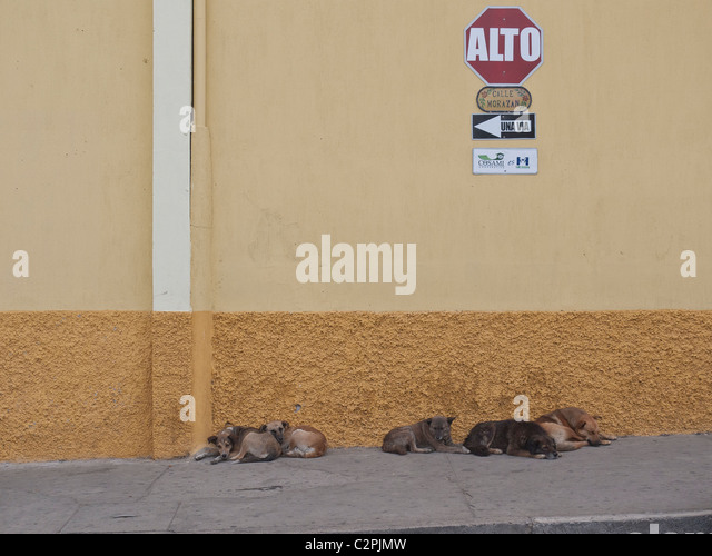 Feral dogs sleep on the sidewalk of Totonicapan, Guatemala. These dogs sleep most of the day and forage for food - Stock Image