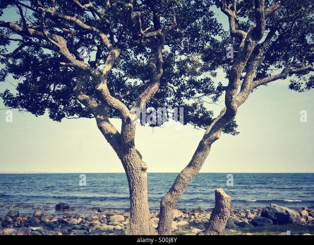 Old, crooked tree on rocky beach, Jomfruland, Norway - Stock Image